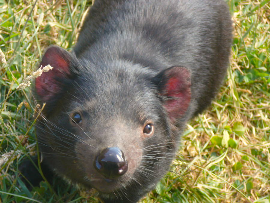 ITB Globetrotter Tasmanien - Tasmanian Devil