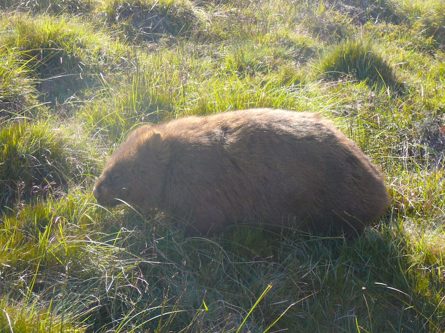 ITB Globetrotter Tasmanien - Wild Wombat