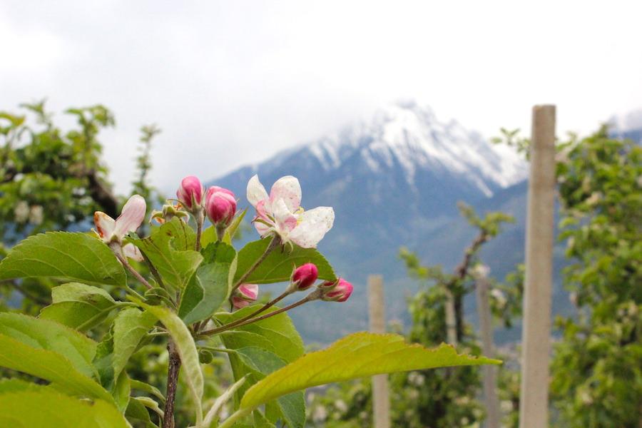 Waalwege Südtirol - Frühlingsblüte