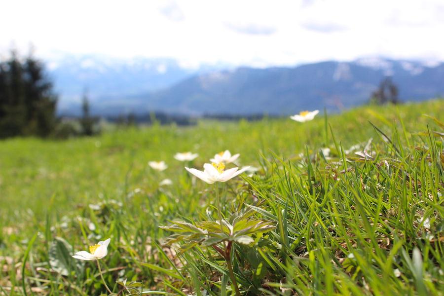 Alpkönigblick - Blumenwiese - Wandern im Allgäu