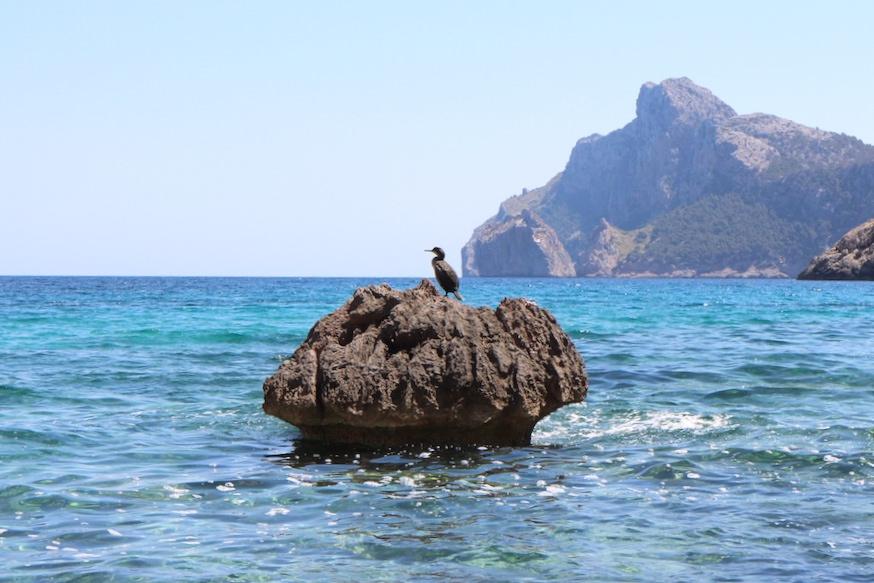 Wanderung Cala Bóquer Mallorca - Vogel