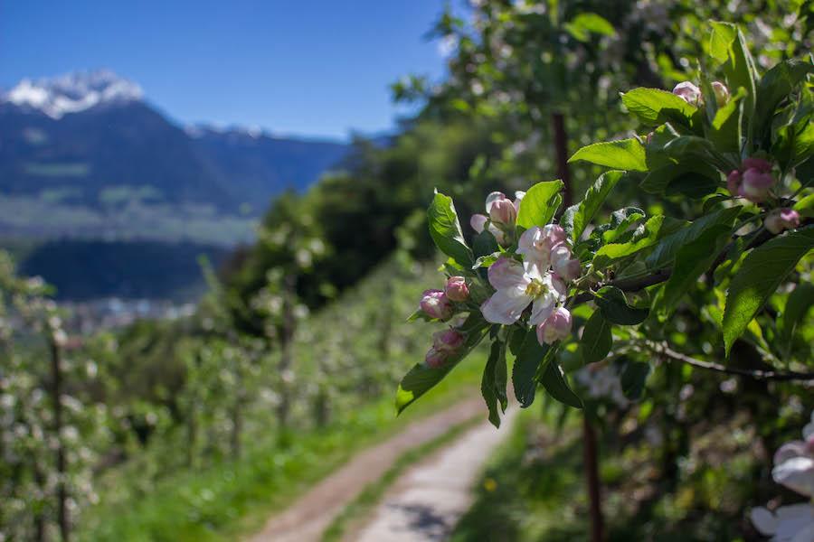 Suedtirol - Marlinger Waalweg - Apfelbluete und Weg