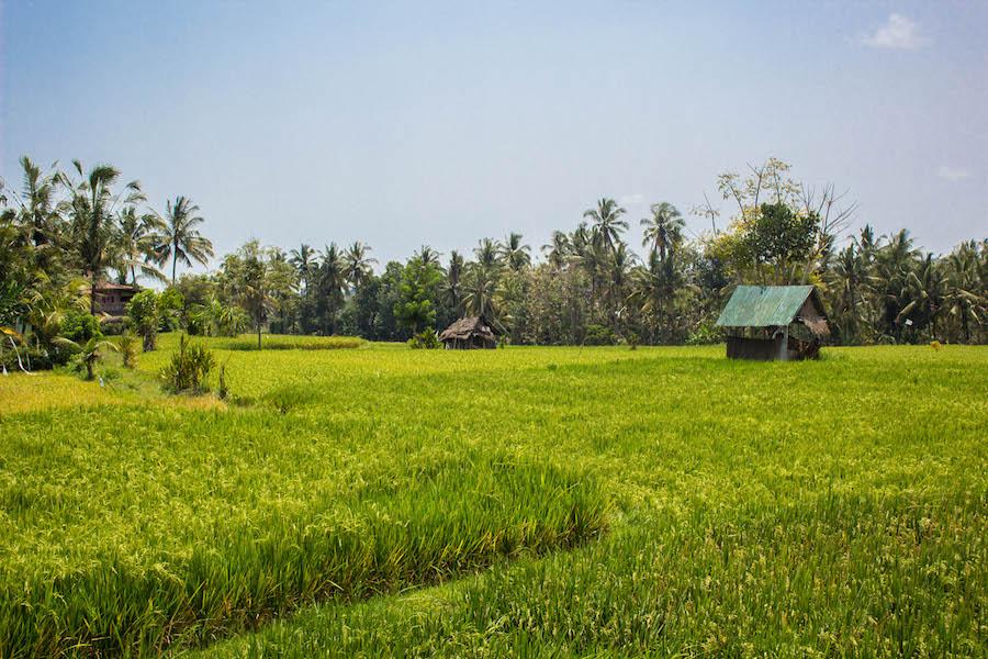 Wanderung im Reisfeld