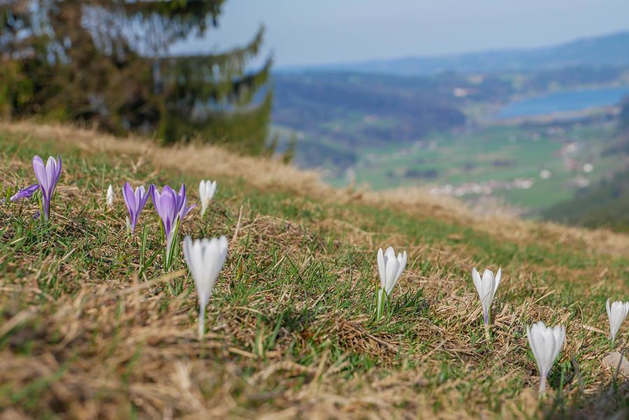 Wandern am Huendle - Krokusse mit Alpsee