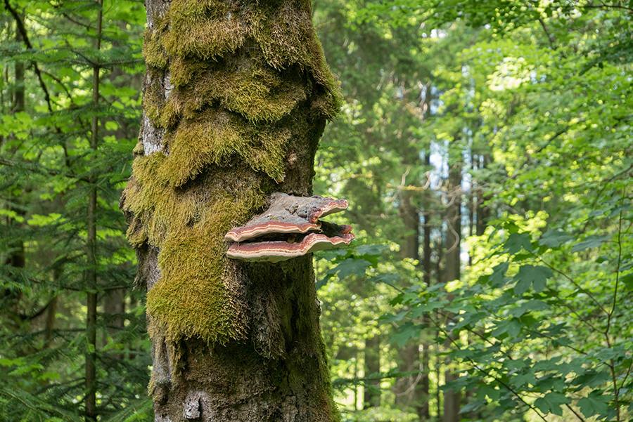 Wandern im Tobel bei Oberstdorf - Pilz am Baum