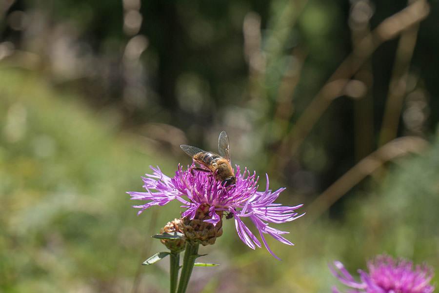 Oberjoch Wandern - Wanderung zum Spieser - Biene