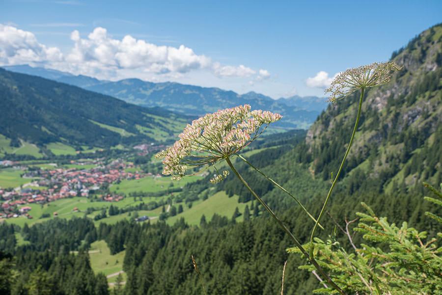 Oberjoch Wandern - Wanderung zum Spieser - Blume