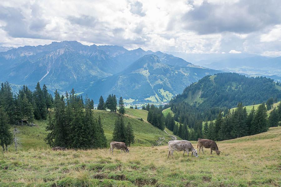 Oberjoch Wandern - Wanderung zum Spieser - Kuehe