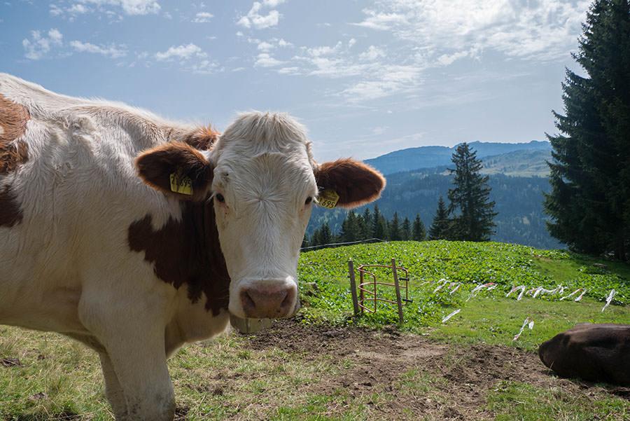 Wandern zum Riedberger Horn - Kuh 2