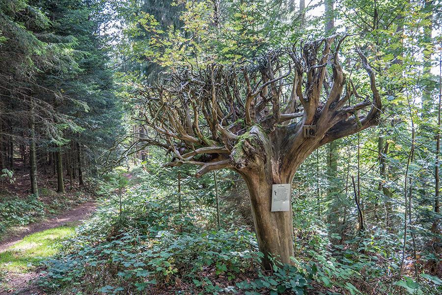 Wandern Schwarzwald - A Tasty Hike - Wurzeln