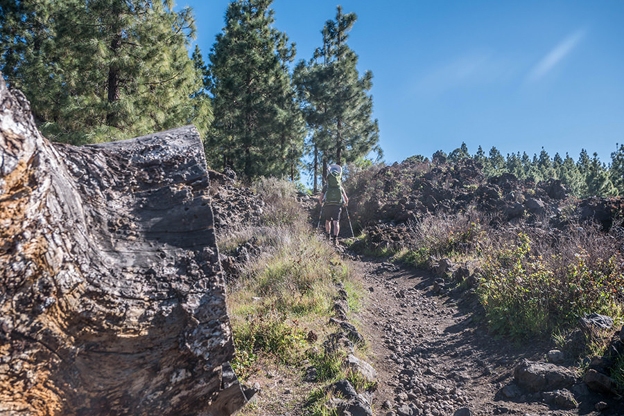 A Tasty Hike - Wandern Teneriffa - Rundwanderung Vulkan Chinyero - Wanderweg mit Stamm