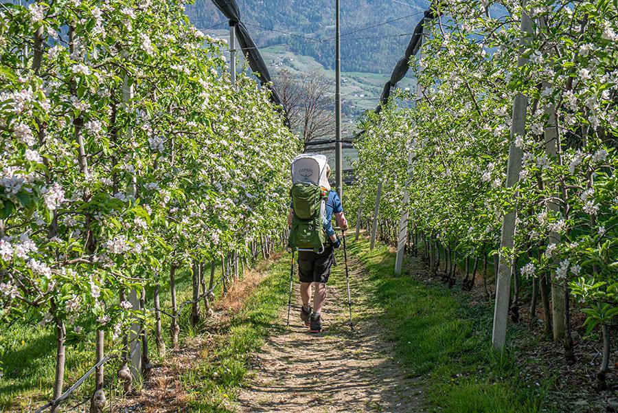 A Tasty Hike - Dorf Tirol Wandern - Suedtirol - Apfelplantage