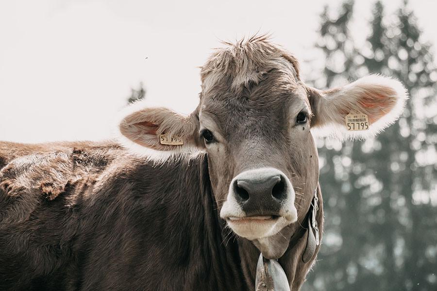 A Tasty Hike - Gruenten Wandern - Lustiger Wanderweg Allgaeu - Kuh