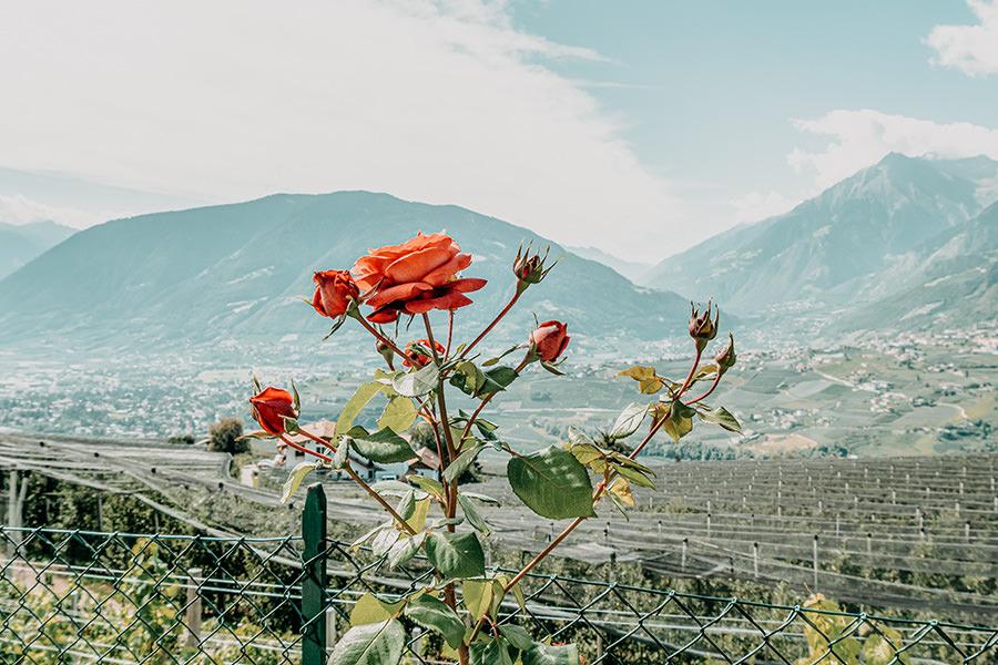 Schenna Wandern - A Tasty Hike - Wanderung Schenner Waalweg - Rose
