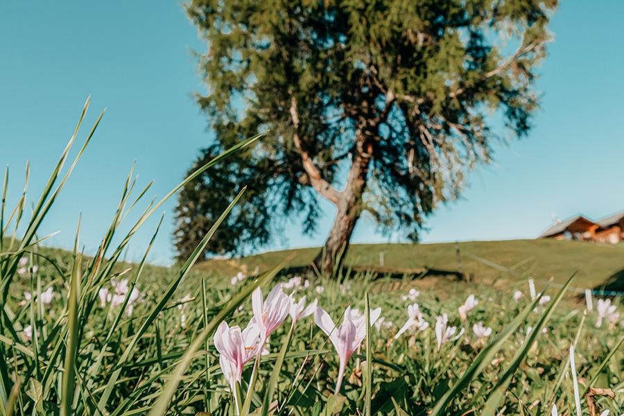 Seiser Alm Wandern - A Tasty Hike - Genusswanderung - Baum mit Blumen