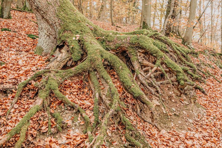 Edersee wandern - Rundwanderung im Nationalpark Kellerwald-Edersee auf dem Urwaldsteig - Wurzeln