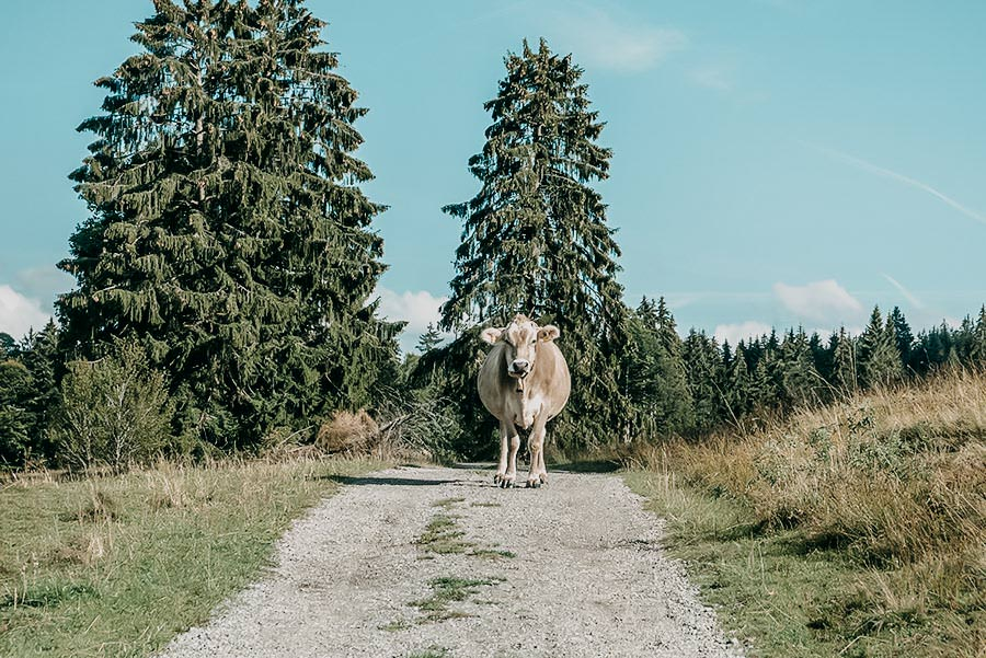 Alpsee wandern - 5 Genusswanderungen am Alpsee im Allgaeu - Kuh