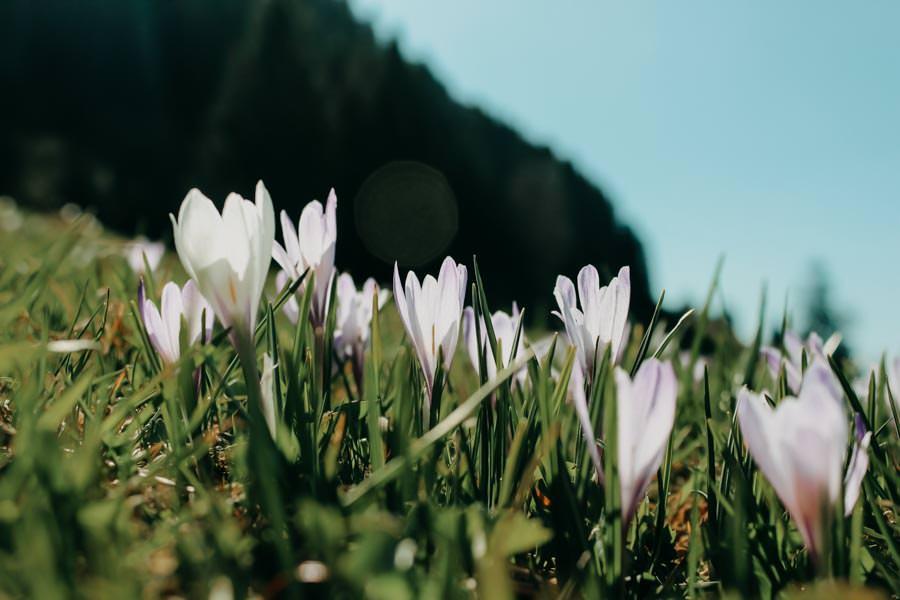 Fruehlingswanderungen - Wandern im Fruehling - Fruehlingswandern - Krokusse