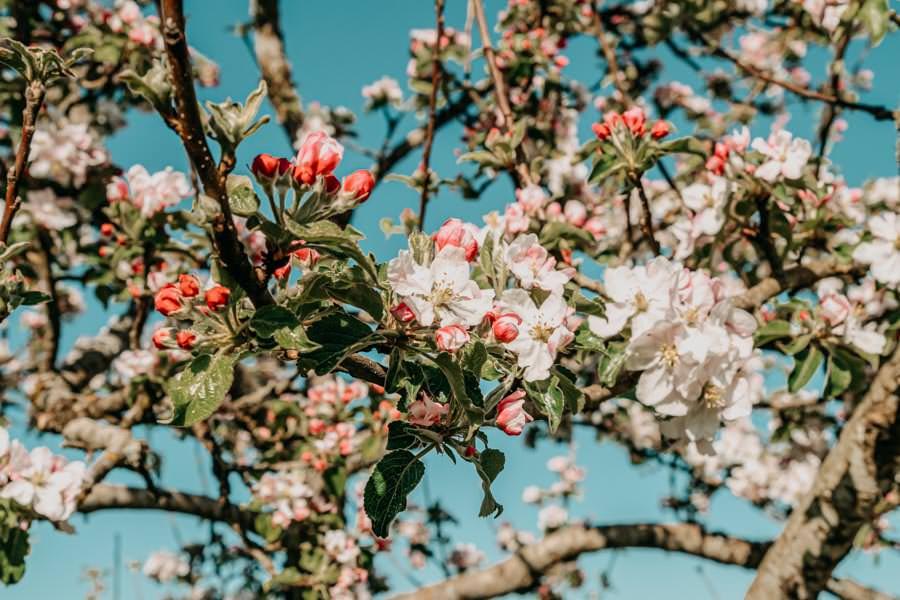 Wanderung Urseen bei Beuren im Allgaeu – Apfelbaumbluete