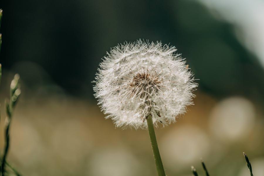 Wanderung beim Glasmacherdorf Schmidsfelden im Allgaeu – Pusteblume